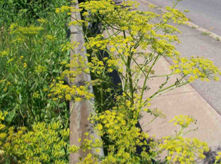 WARNING: Wild Parsnip on the Rise in Our Area
